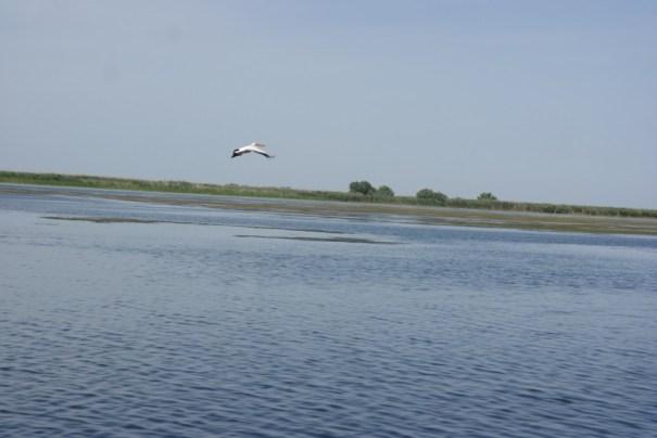 Alt pelican in zbor, Delta Dunarii