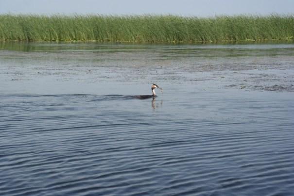 Lisita cu peste in cioc, Delta Dunarii