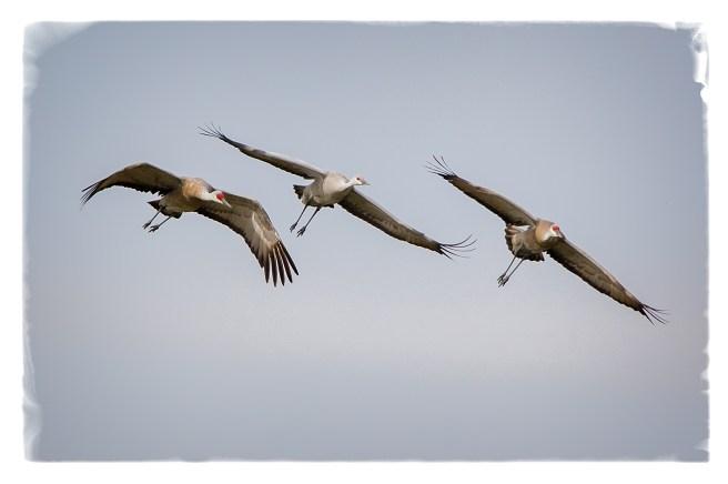 cranesflyng2