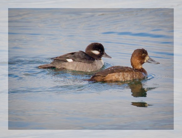 BuffleAndScaup