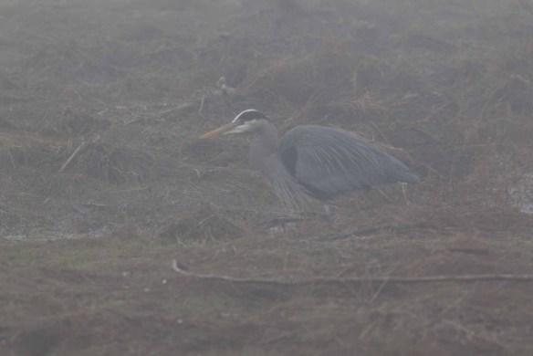 Grey Heron in Heavy Fog