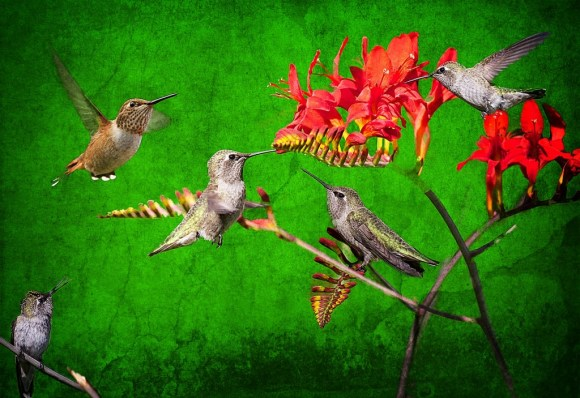 HummingbirdCollage