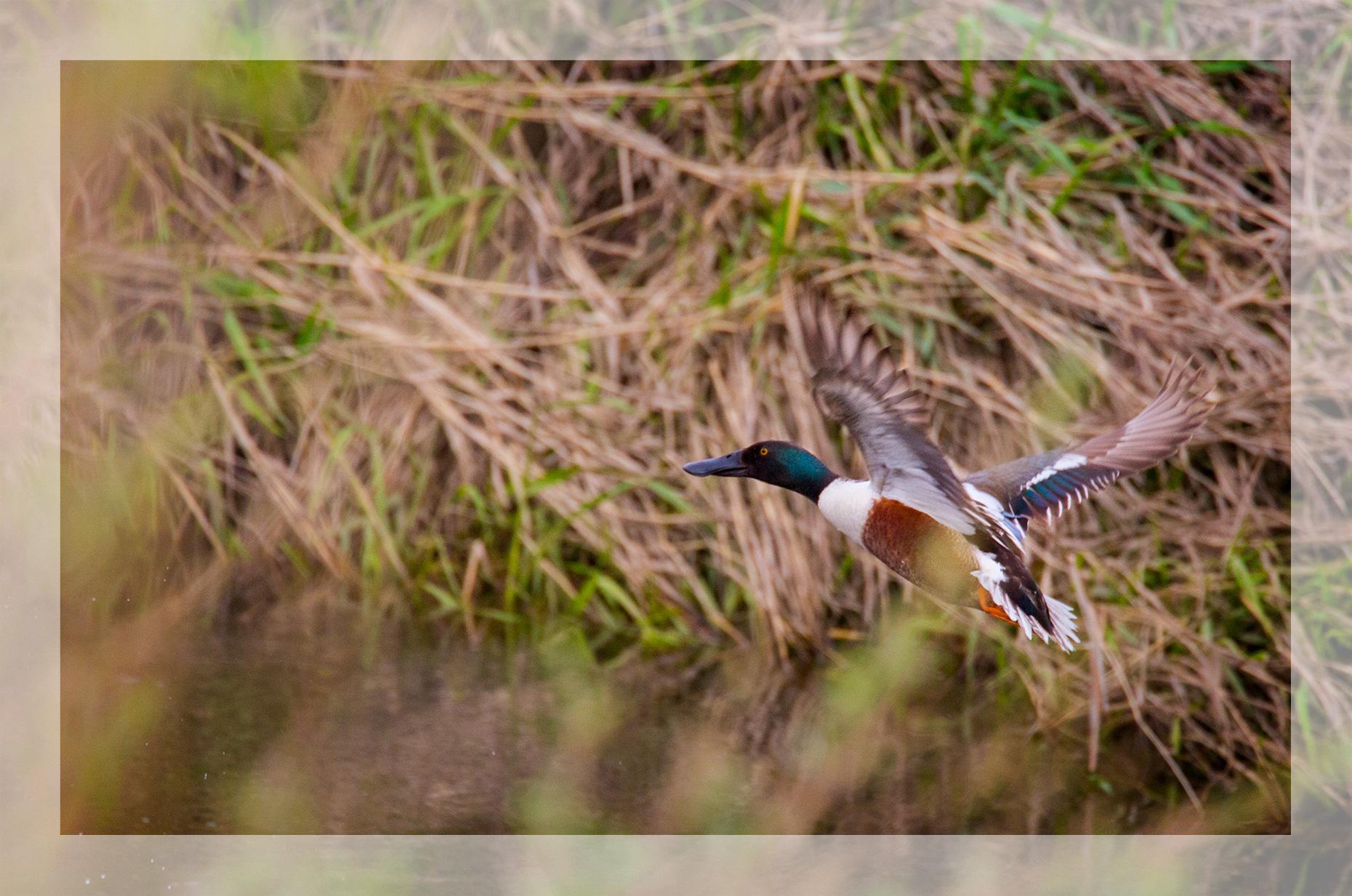Malheur Ducks   In a Dark Time … The Eye Begins to See