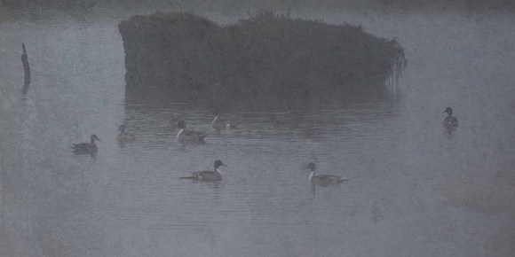 Northern Pintail In Fog