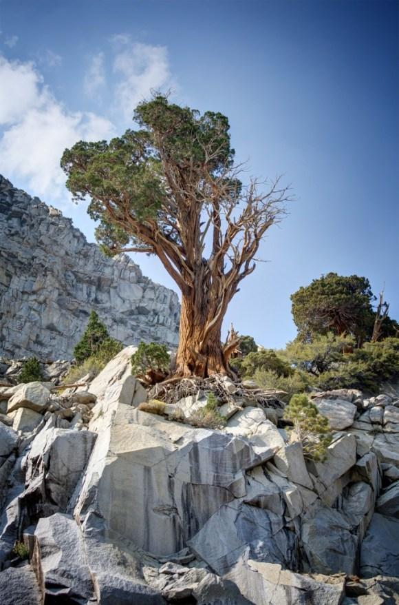 YosemiteTree2
