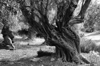 Gli ulivi dell'isola di Creta