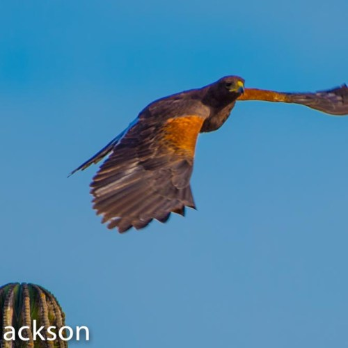 Harris Hawk in Flight 8.5x15.25