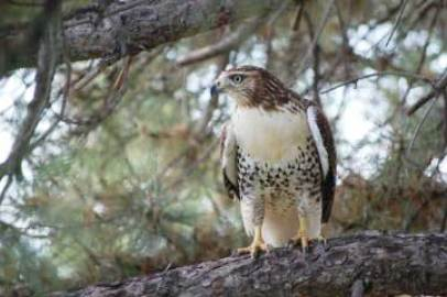 A hawk perches on a tall pine on the grounds of the Denver Center. (Photo by Carolyn Dunbar)
