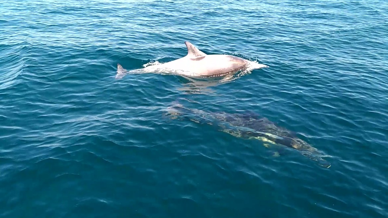 dauphin blanc