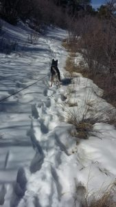 Kuma leads the way for another snow adventure is the great town of Prescott AZ