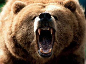 Kuma encounters a Grizzly bear on his morning run