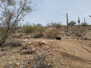 Kuma on the Maricopa Trail