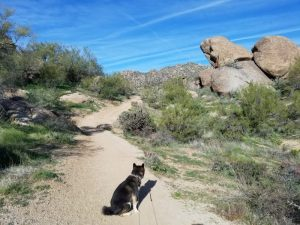 Kuma explores the McDowell Mountains