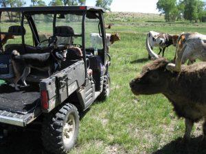 Kuma meets a cow