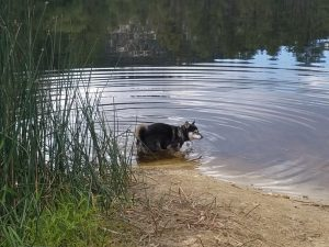 Kuma takes a dip in the lake