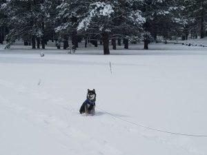 Kuma finds snow in Flagstaff