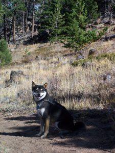 Kuma in Rocky Mountains
