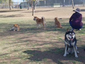 Kuma at Shiba Inu Meet Up