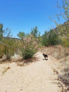 Kuma on the Agua Fria trail