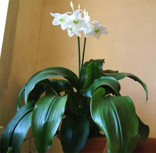 Луковичные Комнатные Растения Фото И Названия Уход