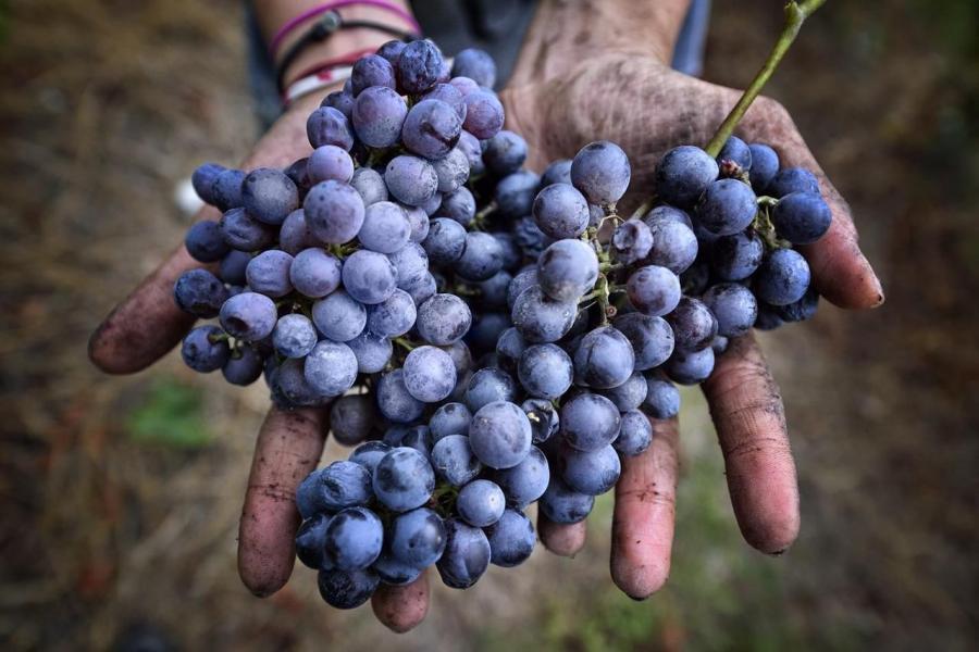 Di Freisa in Freisa: un vitigno, mille volti