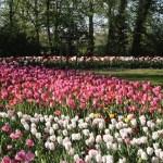 Pralormo, visita virtuale per ammirare la fioritura di Messer Tulipano