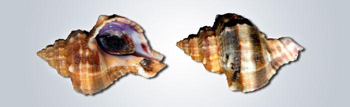 CAÑAILLA-BASTA---Hexaplex-trunculus