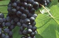 العنب الأسود وفوائده الصحيه