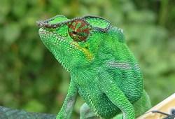 Por qué los camaleones cambian de color