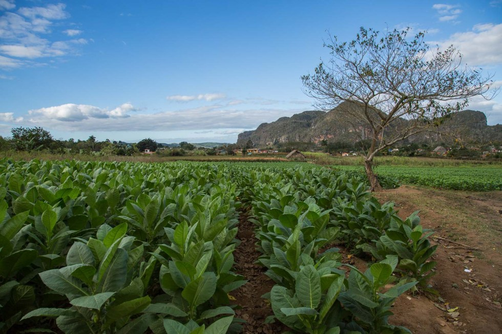 View of Viñales Valley from a field of Tobacco