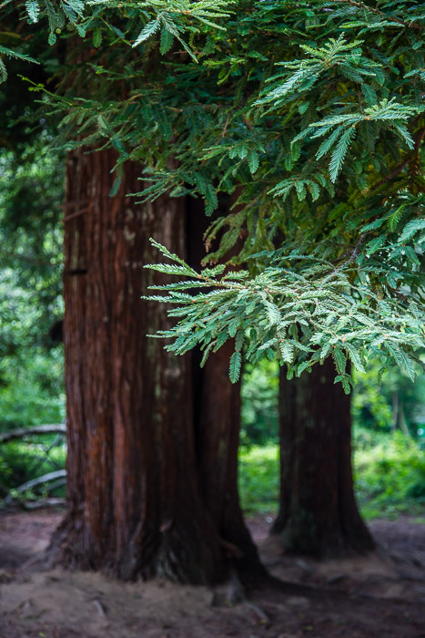 Redwood Tree at Van Damme State Park | LOST NOT FOUND | Mendocino CA Camping Weekend