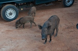 Warthogs at Yala National Park in Sri Lanka | LOST NOT FOUND | Sri Lanka Itinerary | Sri Lanka Travel | Asia Travel | Things to Do in Sri Lanka | 10 Days in Sri Lanka