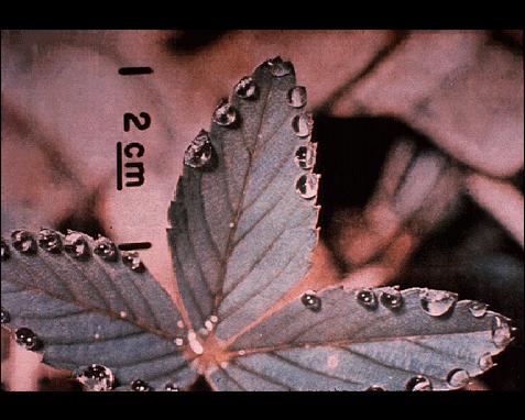 047 - Leaf, Arthur Herrick