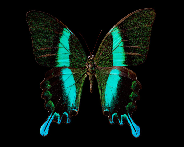 Papilio Blumei - 80x100cm Archival inkjet Print on Museo Portfolio Rag