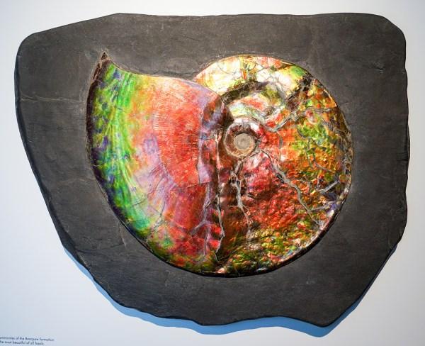 ArtAncient - Placenticeras spp, 74miljoen jaar BC