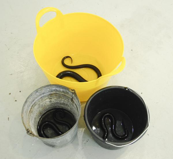 Charles Avery - Untitled (Three Eels) - Drie maal aal van glas in emmer