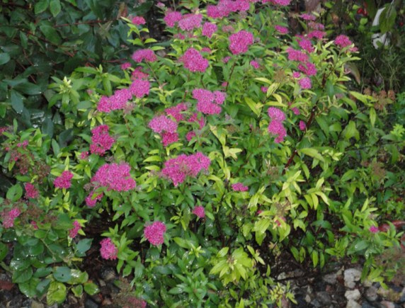 Shrubs-Spirea-Darts-Red