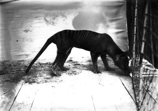 wildlife-conservation-society_00873_thylacine-tasmanian-wolf_bz_02-00-03