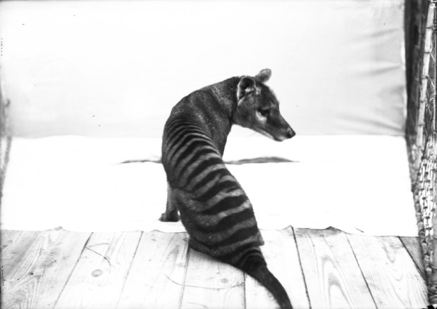 wildlife-conservation-society_00874_tasmanian-wolf_bz_02-00-03