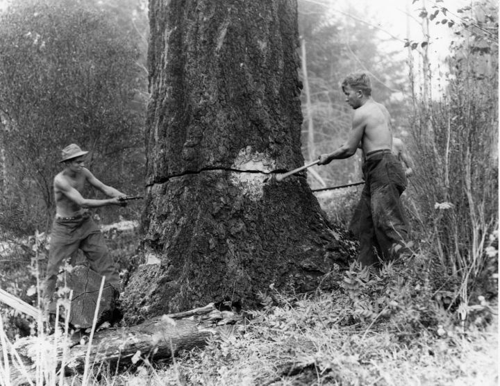 Felling snags on fire line around the Coquille CCC camp, Siskiyou National Forest, California.