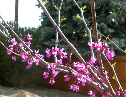 Photo Of The Day Eastern Redbud Tree In Bloom Lot Lines