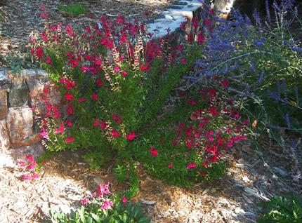 Salvia greggii 'Furman's Red' Sage