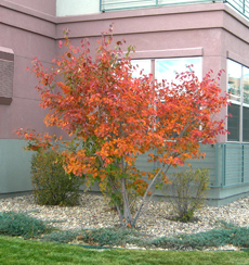 Serviceberry Fall Color