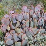 purple prickly pear cactus