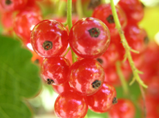 Red Lake Currant