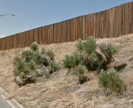 Yucca rostrata tree yucca