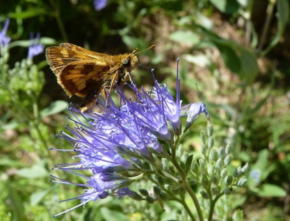 Caryopteris flower and butterfly