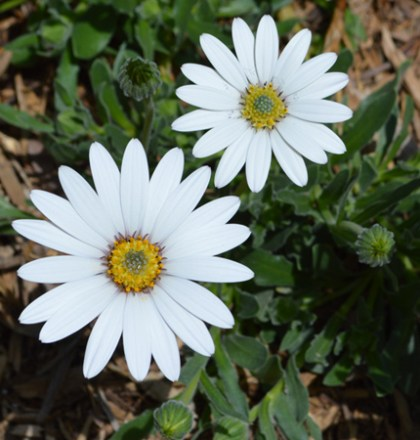 Osteospermum-Avalanche White Sun Daisy 3