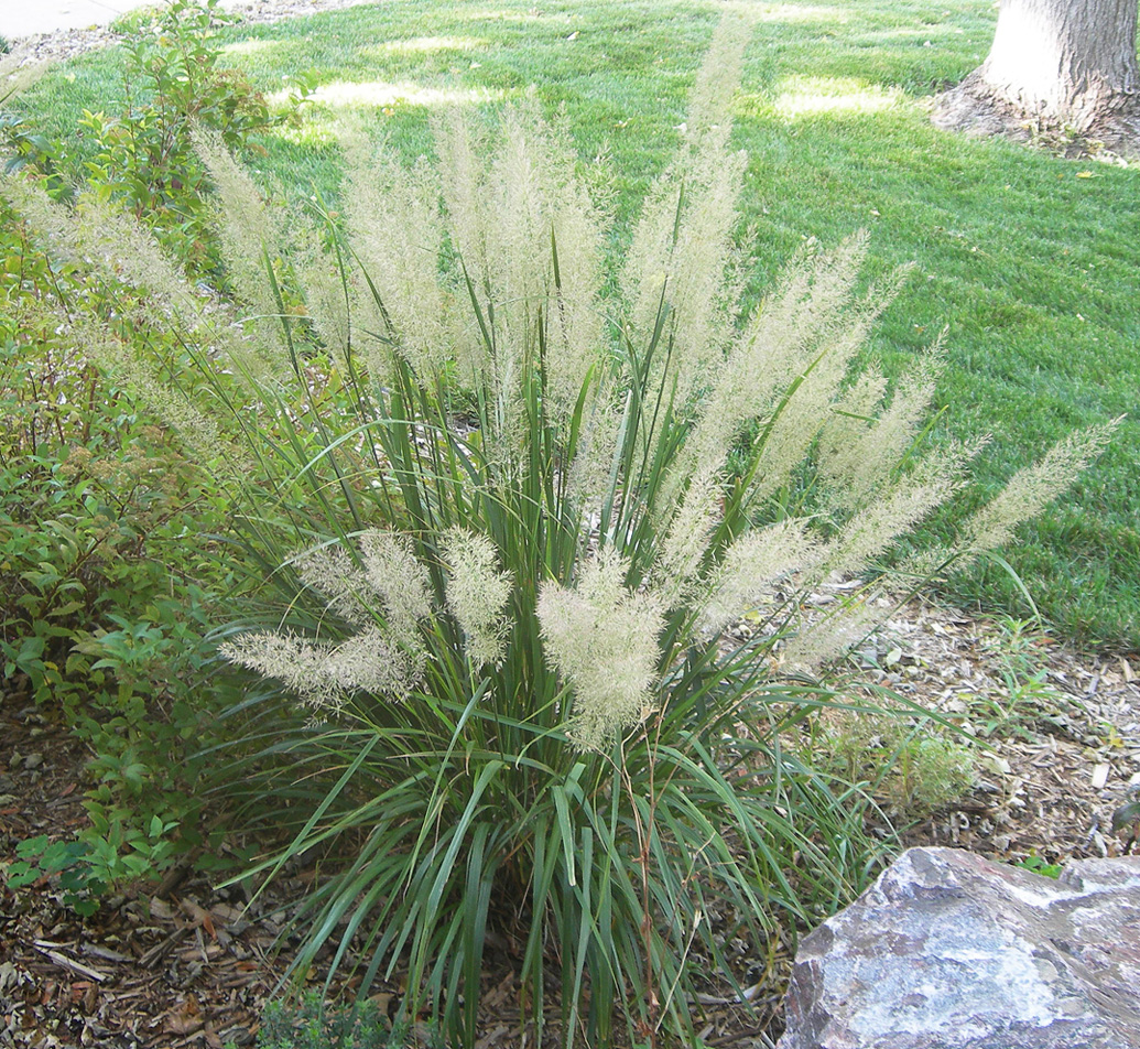 Ornamental Grasses Colorado Korean feather grass a frothy focal point for the part shade korean feather reed grass workwithnaturefo