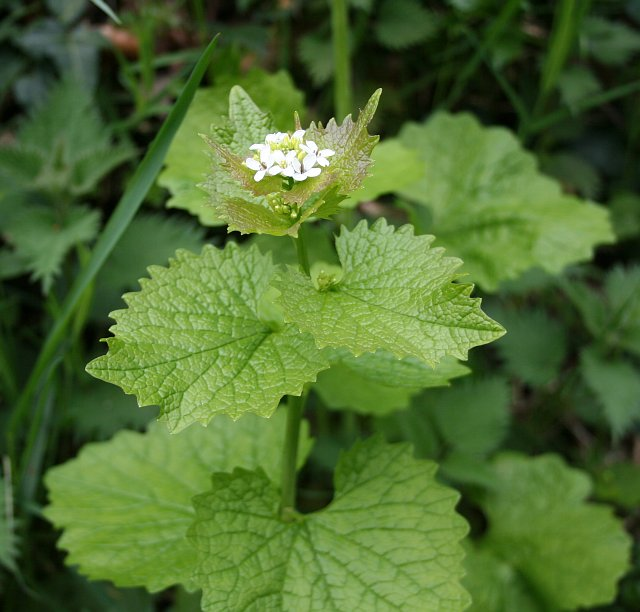Garlic mustard closeup